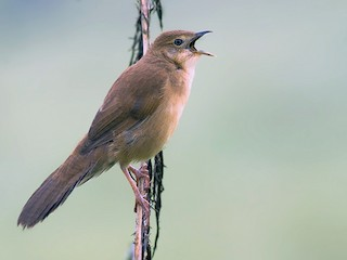 - Broad-tailed Grassbird