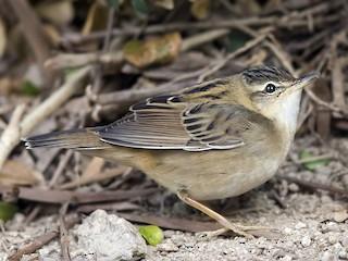 - Pallas's Grasshopper-Warbler