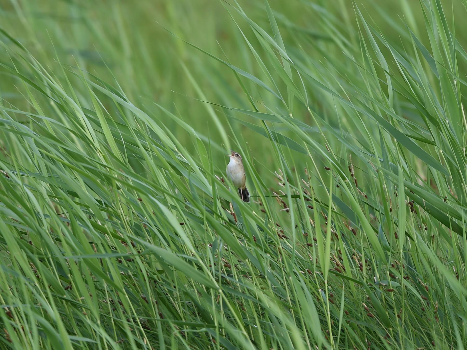 Pallas's Grasshopper-Warbler - Cheng Qian