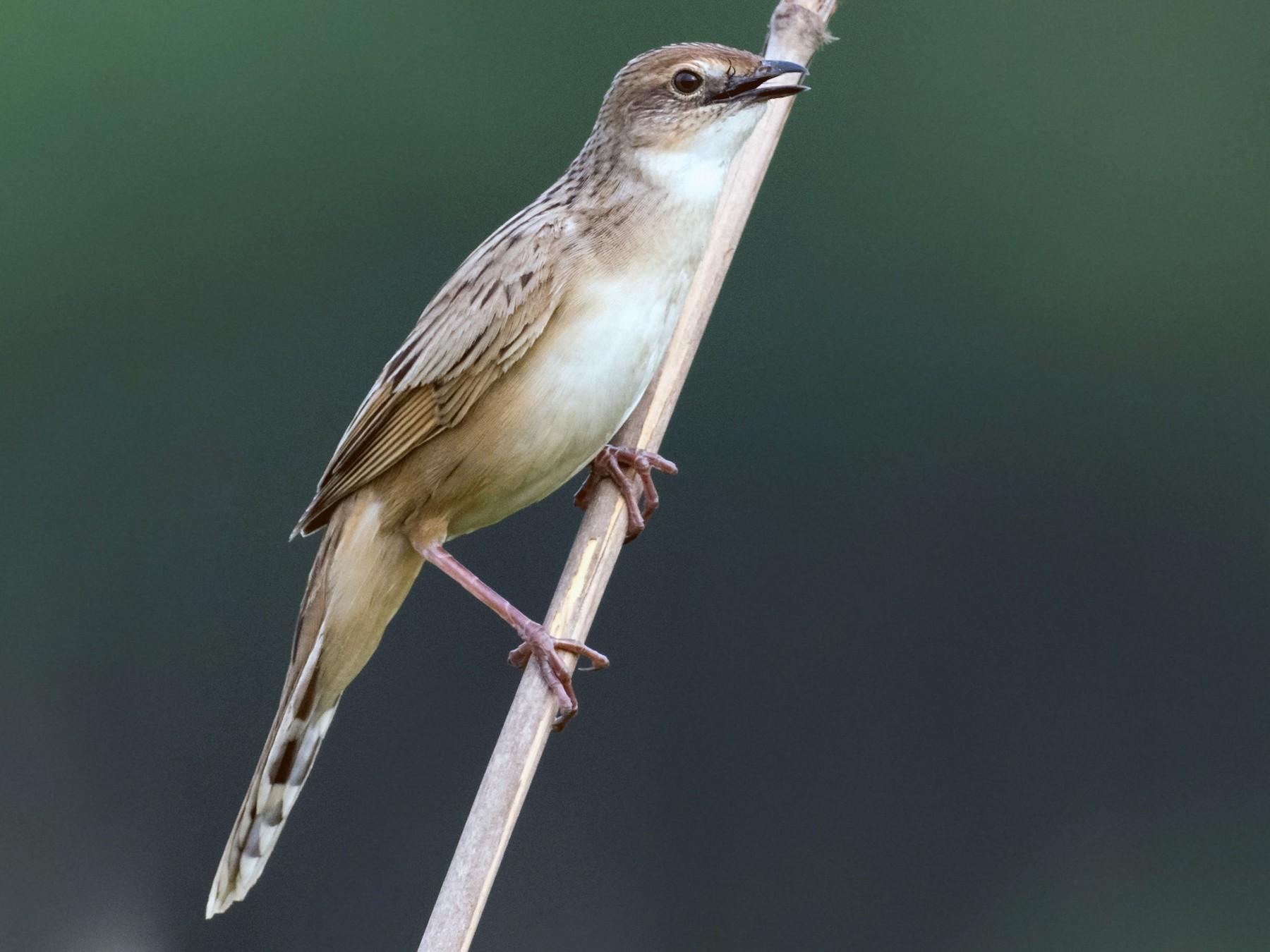 Bristled Grassbird - Sidharth Srinivasan