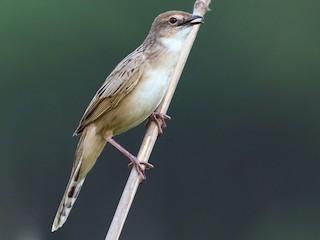- Bristled Grassbird