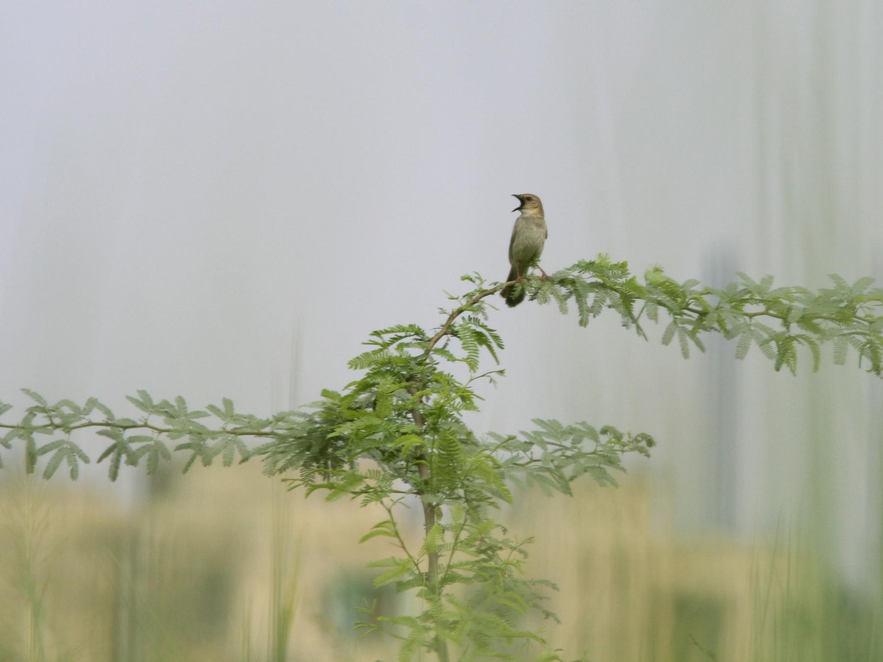 Bristled Grassbird - PANKAJ GUPTA