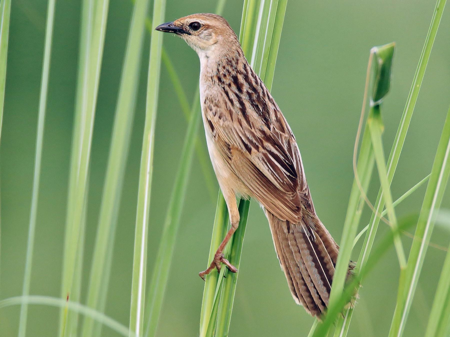 Bristled Grassbird - Nitin Kumar