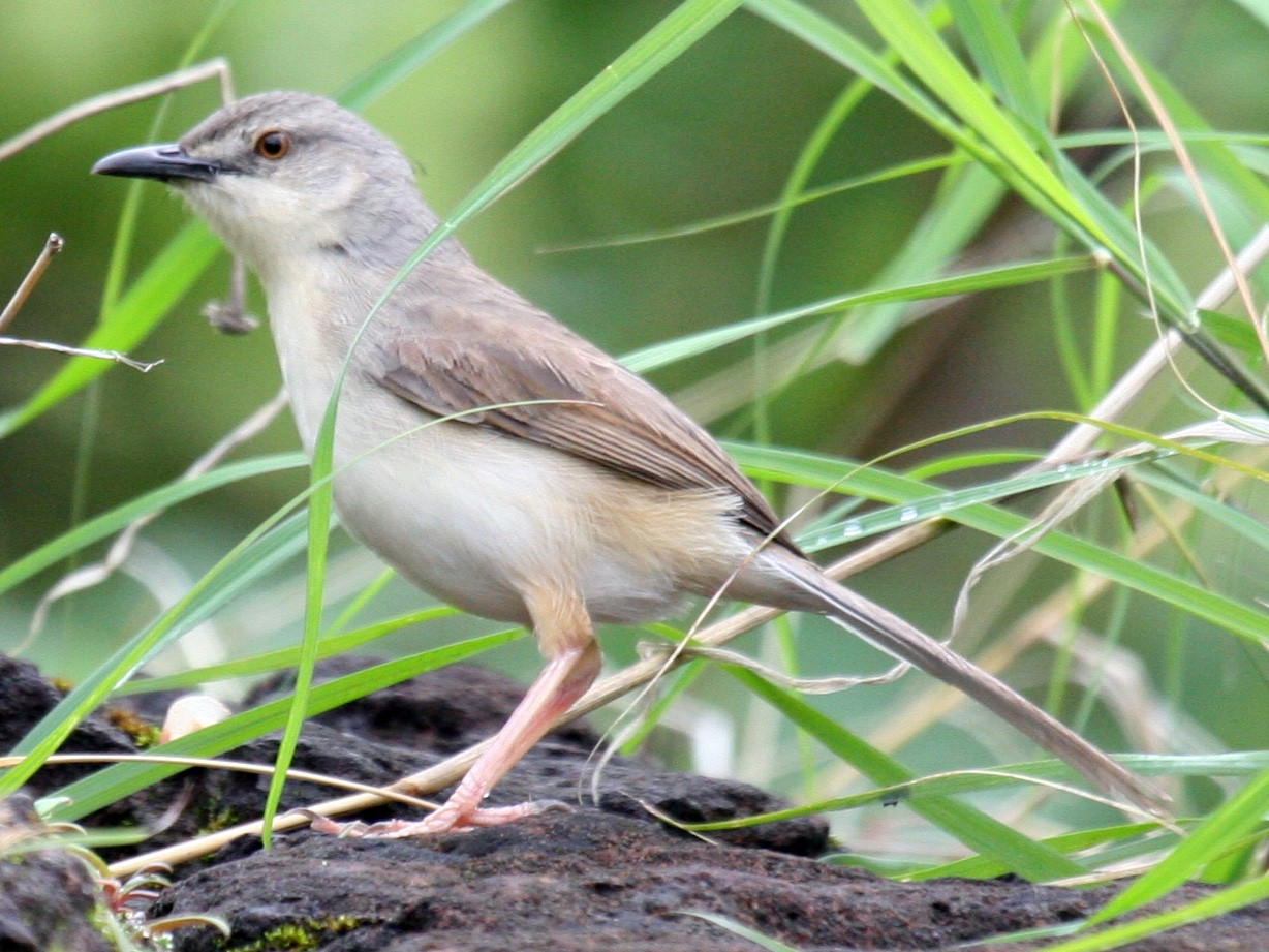 Jungle Prinia - Amrish  Bidaye