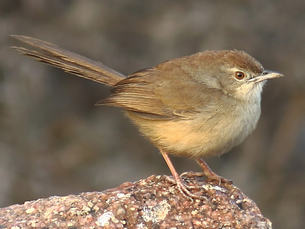 Jungle Prinia - Amarendra Konda
