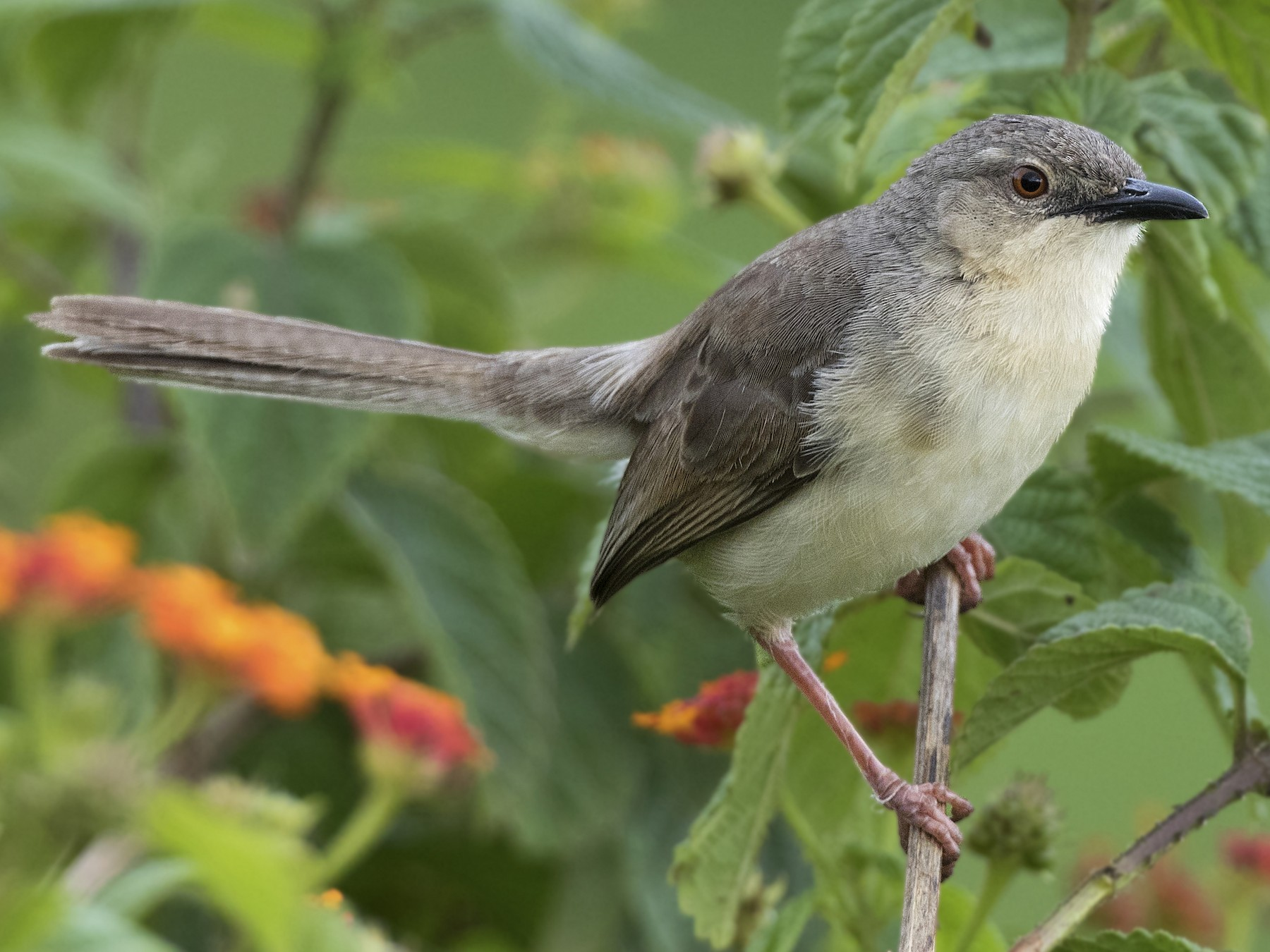 Jungle Prinia - Swapnil Thatte