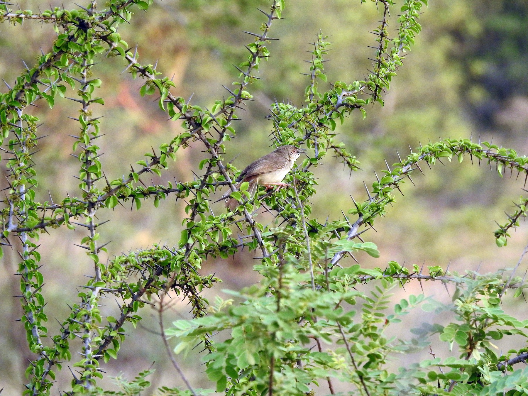 Jungle Prinia - Sivakumar Ramasamy