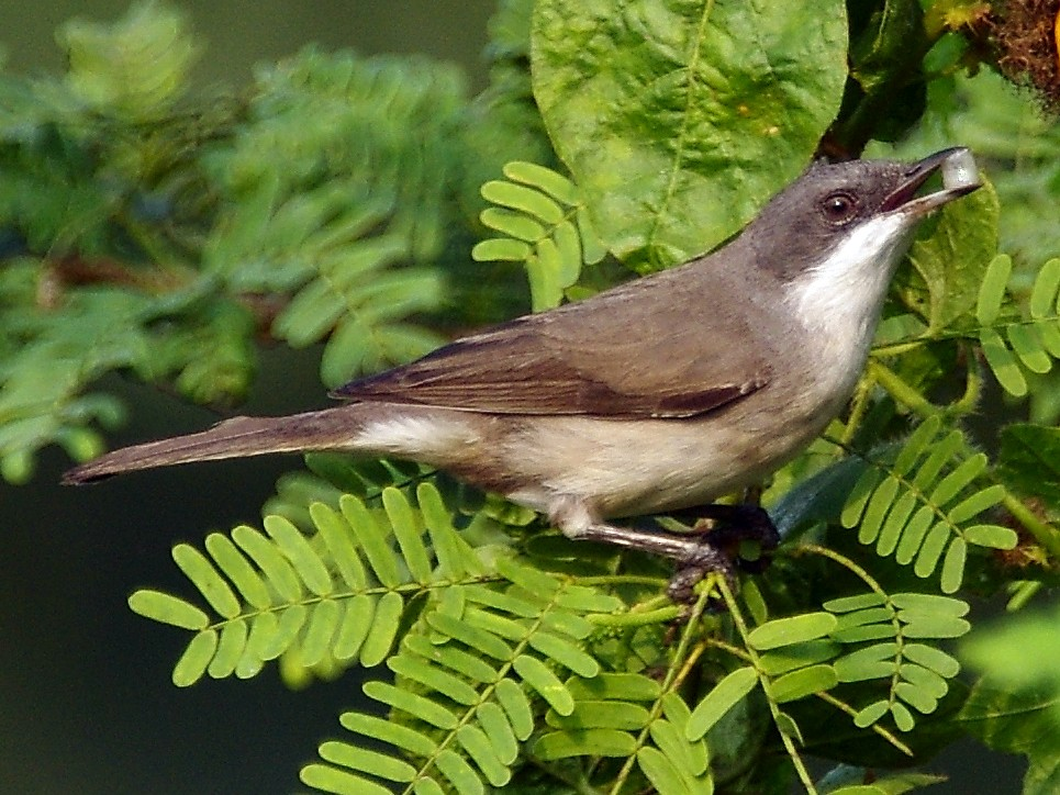 Lesser Whitethroat - Sivakumar SS