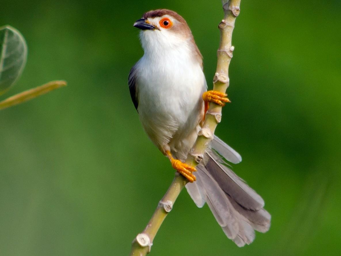 Yellow-eyed Babbler - Lingaraja Venkatesh