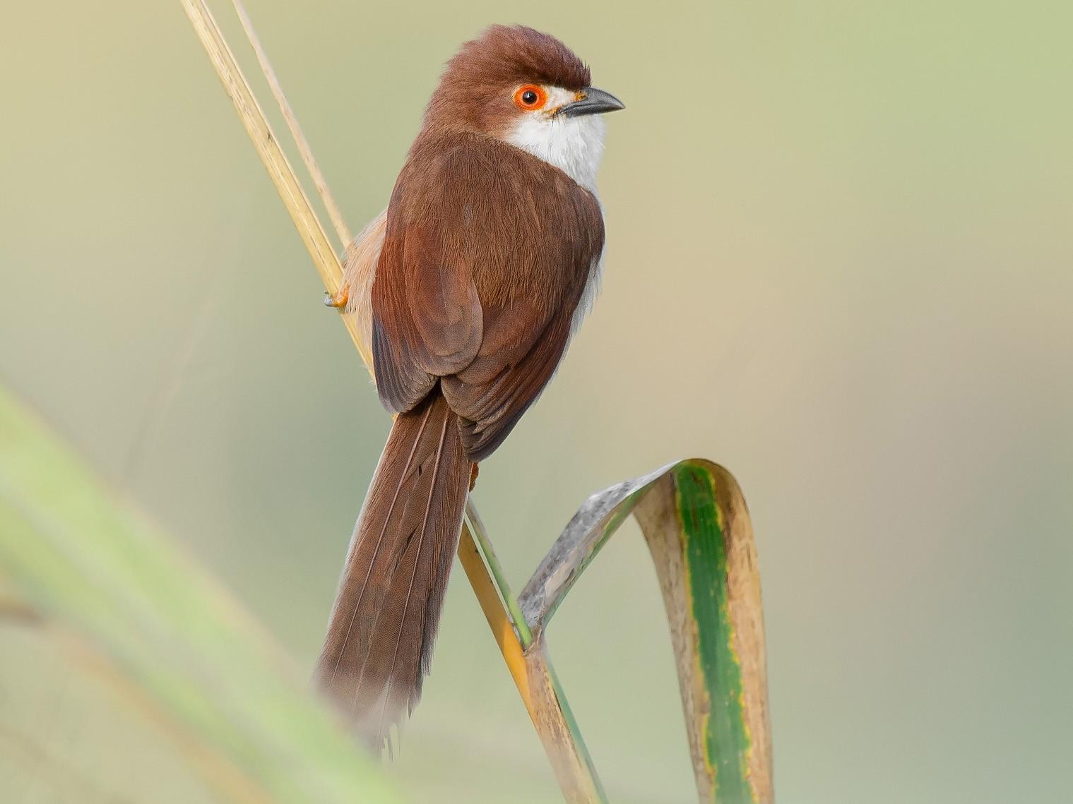 Yellow-eyed Babbler - Natthaphat Chotjuckdikul