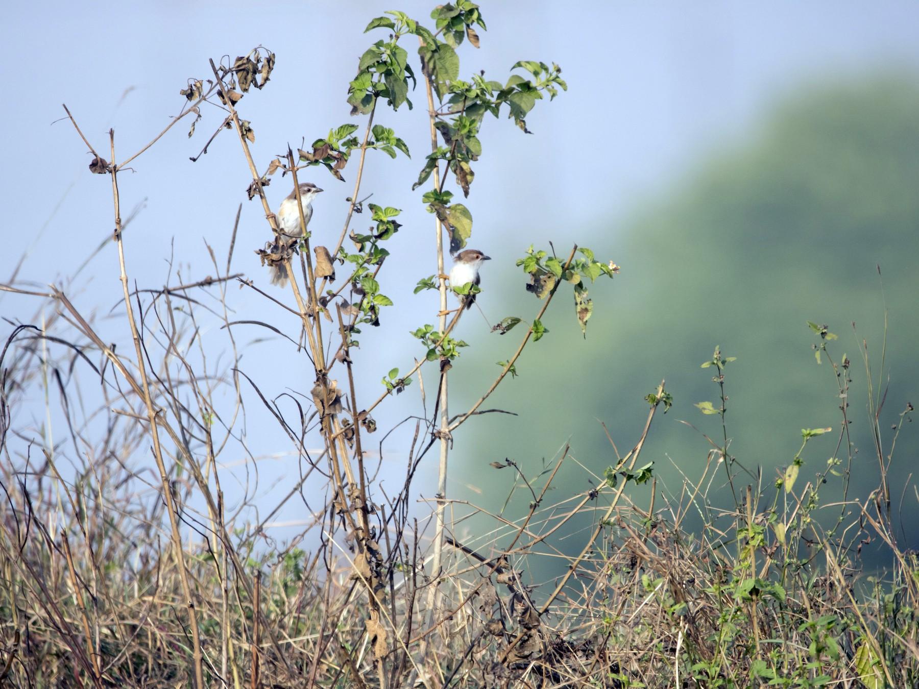 Yellow-eyed Babbler - Ravi naidu