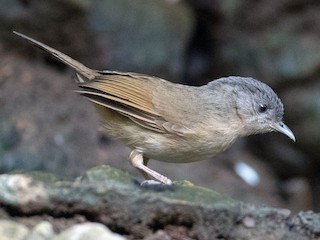 - Brown-cheeked Fulvetta