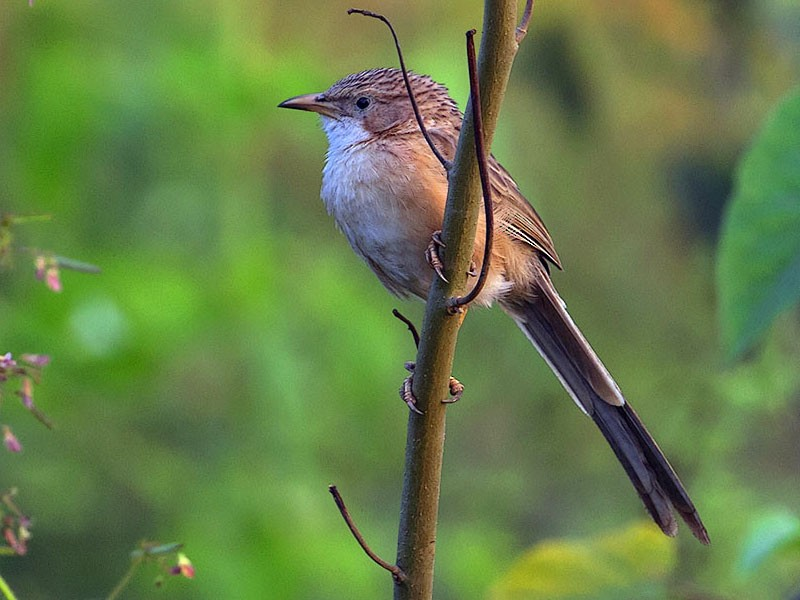 Common Babbler - Shrutidev Mishra