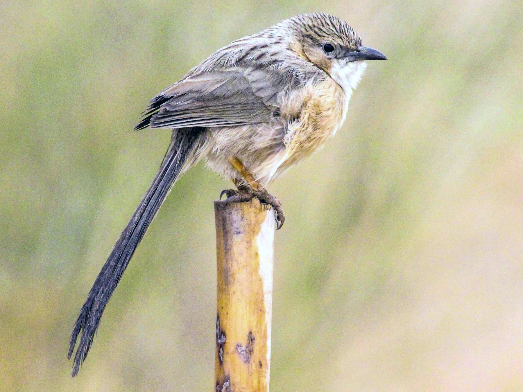 Common Babbler - Thomas Job
