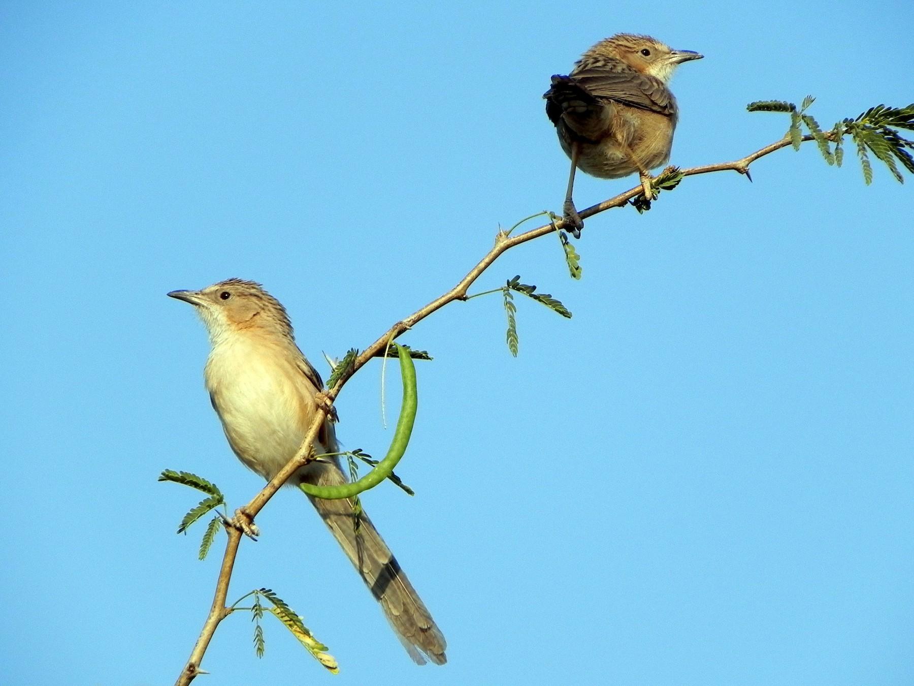 Common Babbler - David Bree