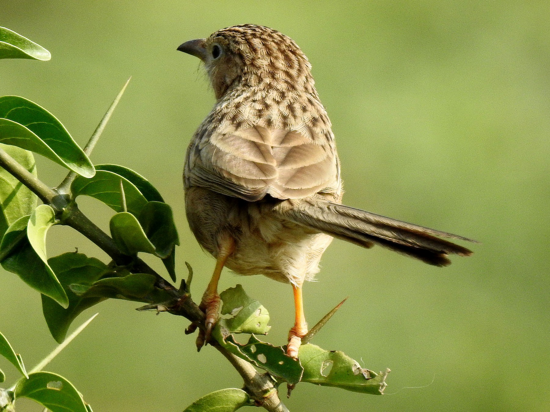 Common Babbler - Sivakumar Ramasamy