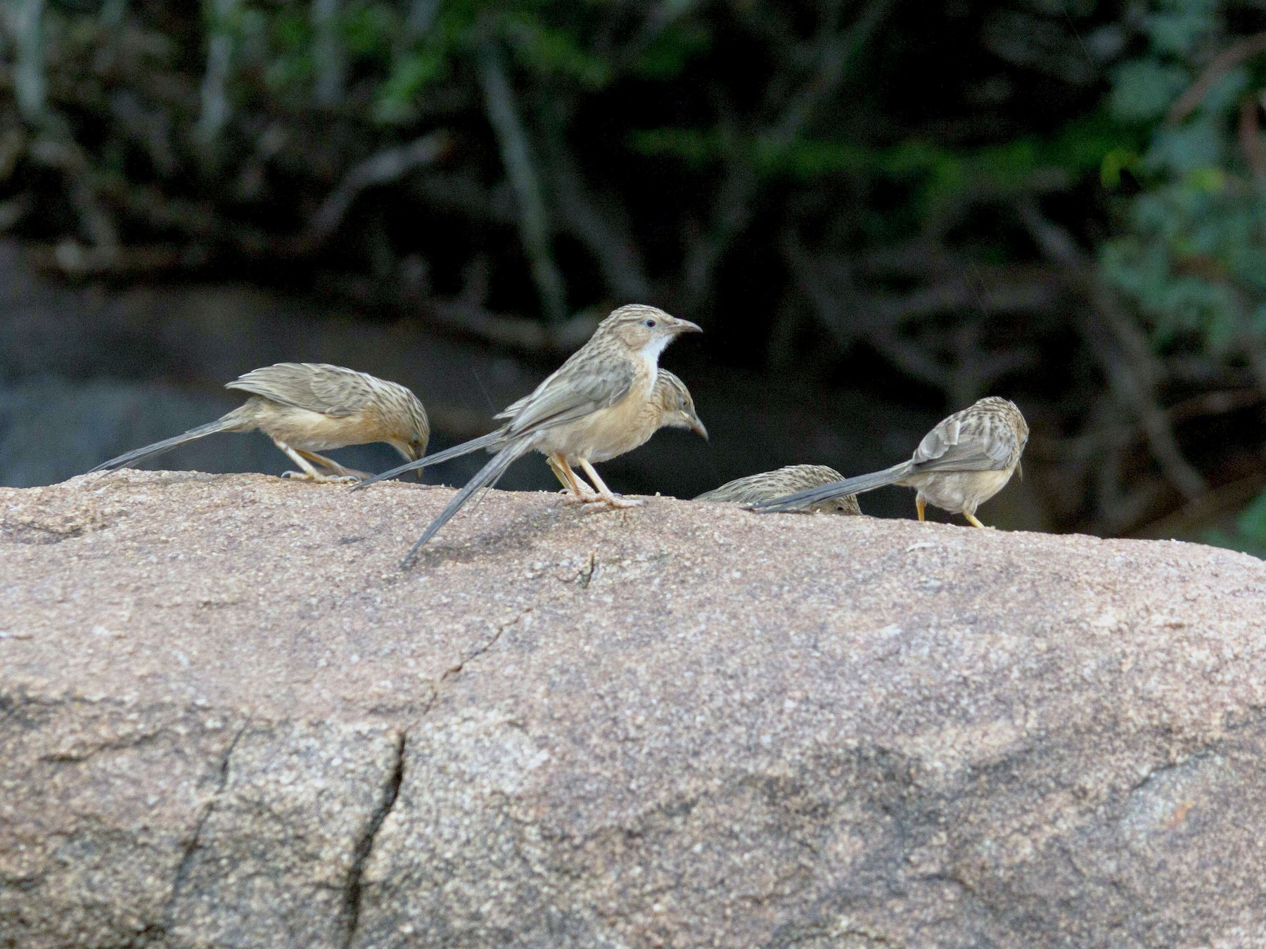 Common Babbler - Adithya Bhat