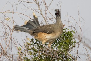 West Mexican Chachalaca, ML150494141