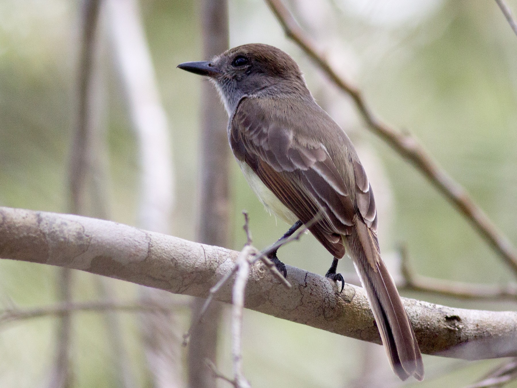 Yucatan Flycatcher - Francis Canto Jr