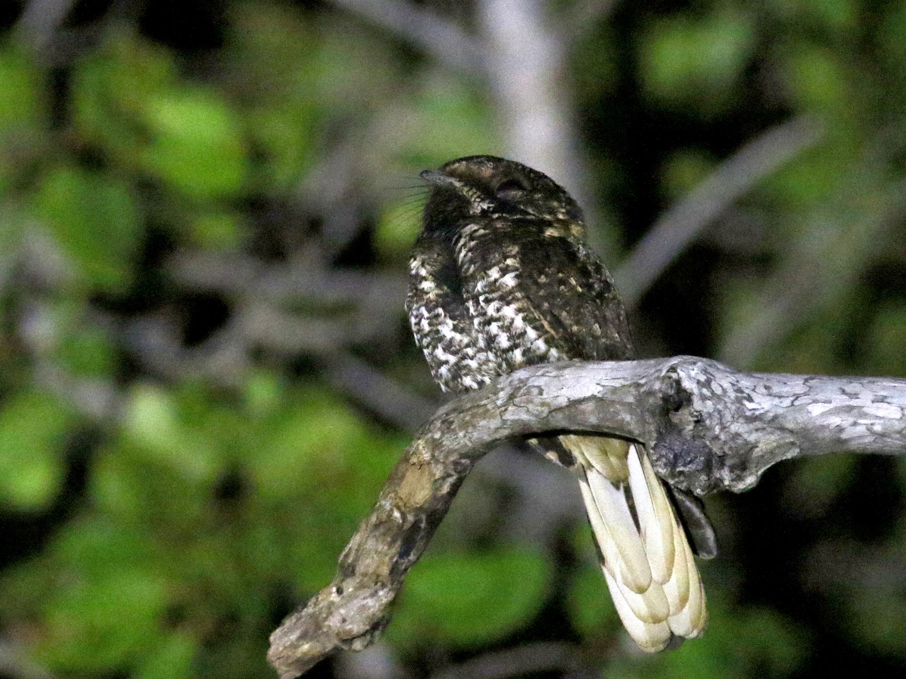 Yucatan Nightjar - Jay McGowan