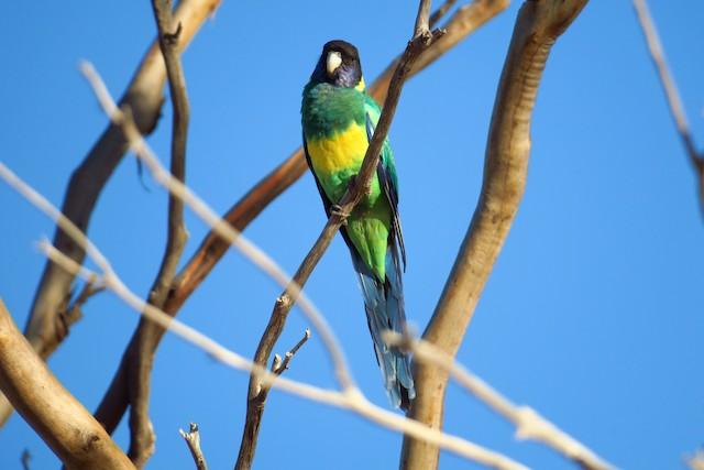 Australian Ringneck (Port Lincoln)