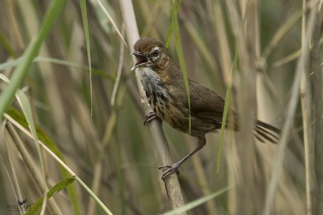 Marsh Babbler