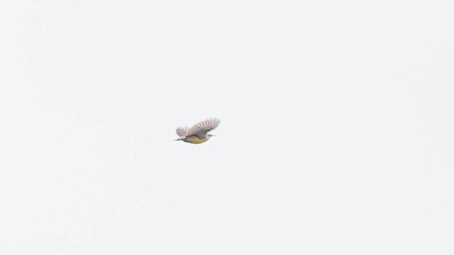 Eastern Meadowlark (Eastern)