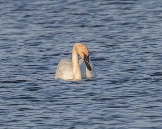 Trumpeter Swan, ML150959971