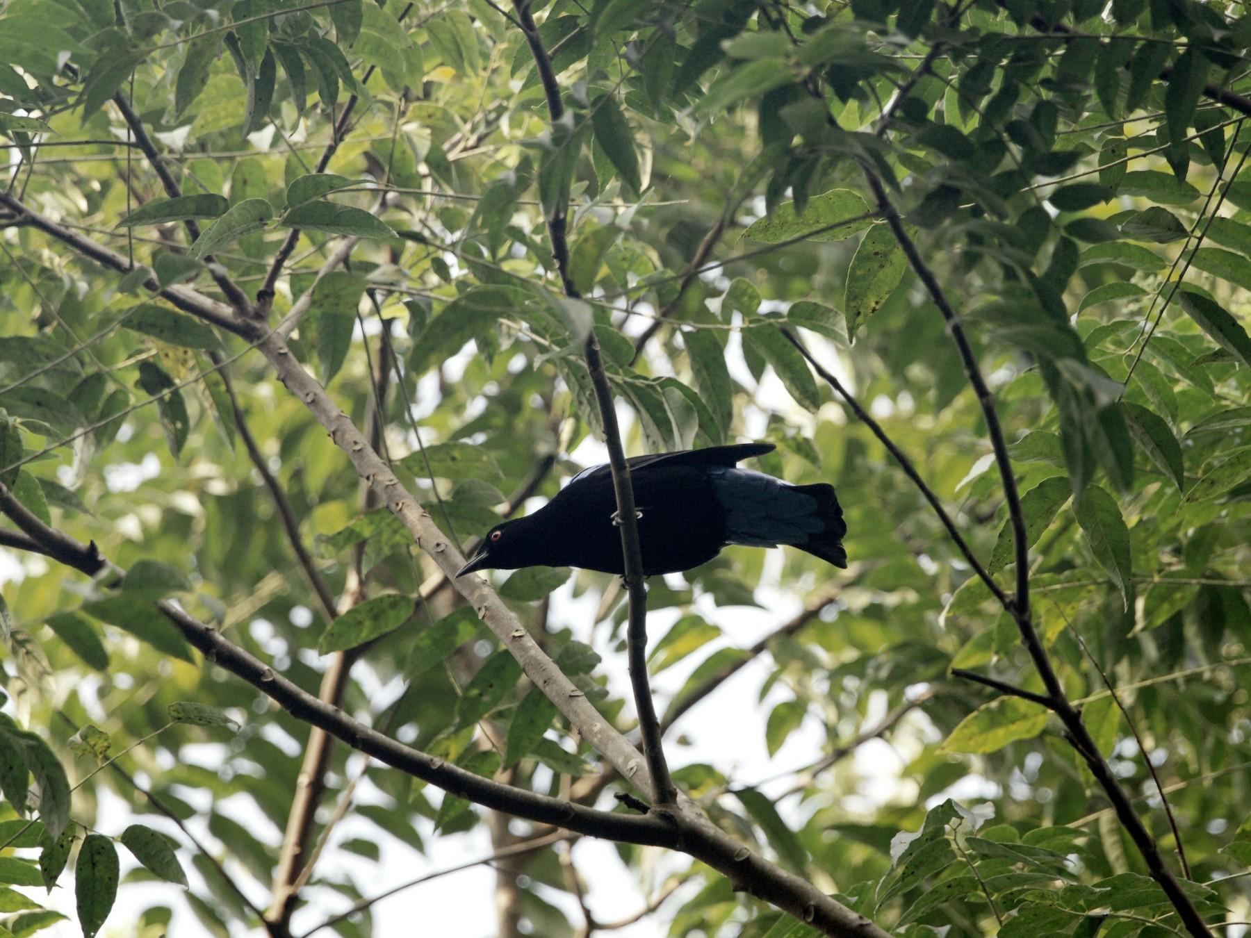 Asian Fairy-bluebird - Kian Guan Tay