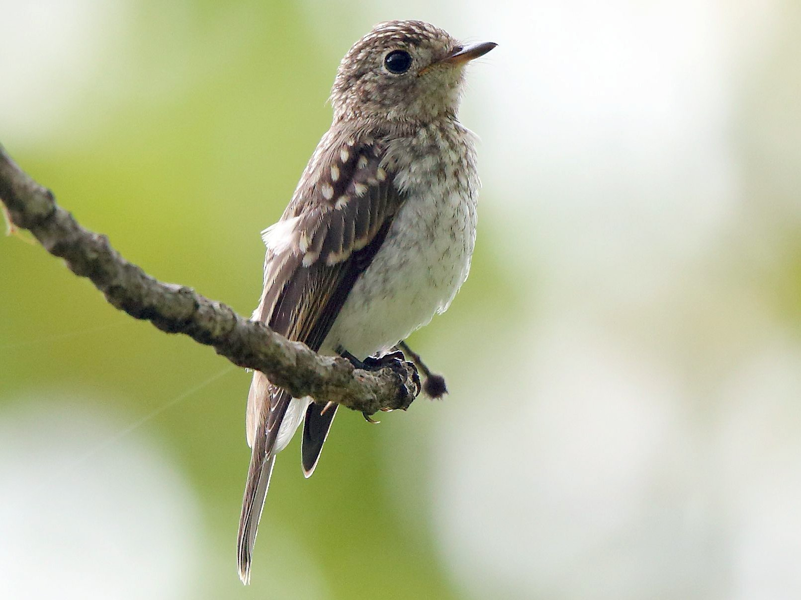 Asian Brown Flycatcher - Albin Jacob
