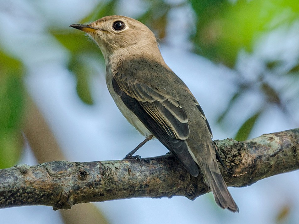 Asian Brown Flycatcher - John Clough