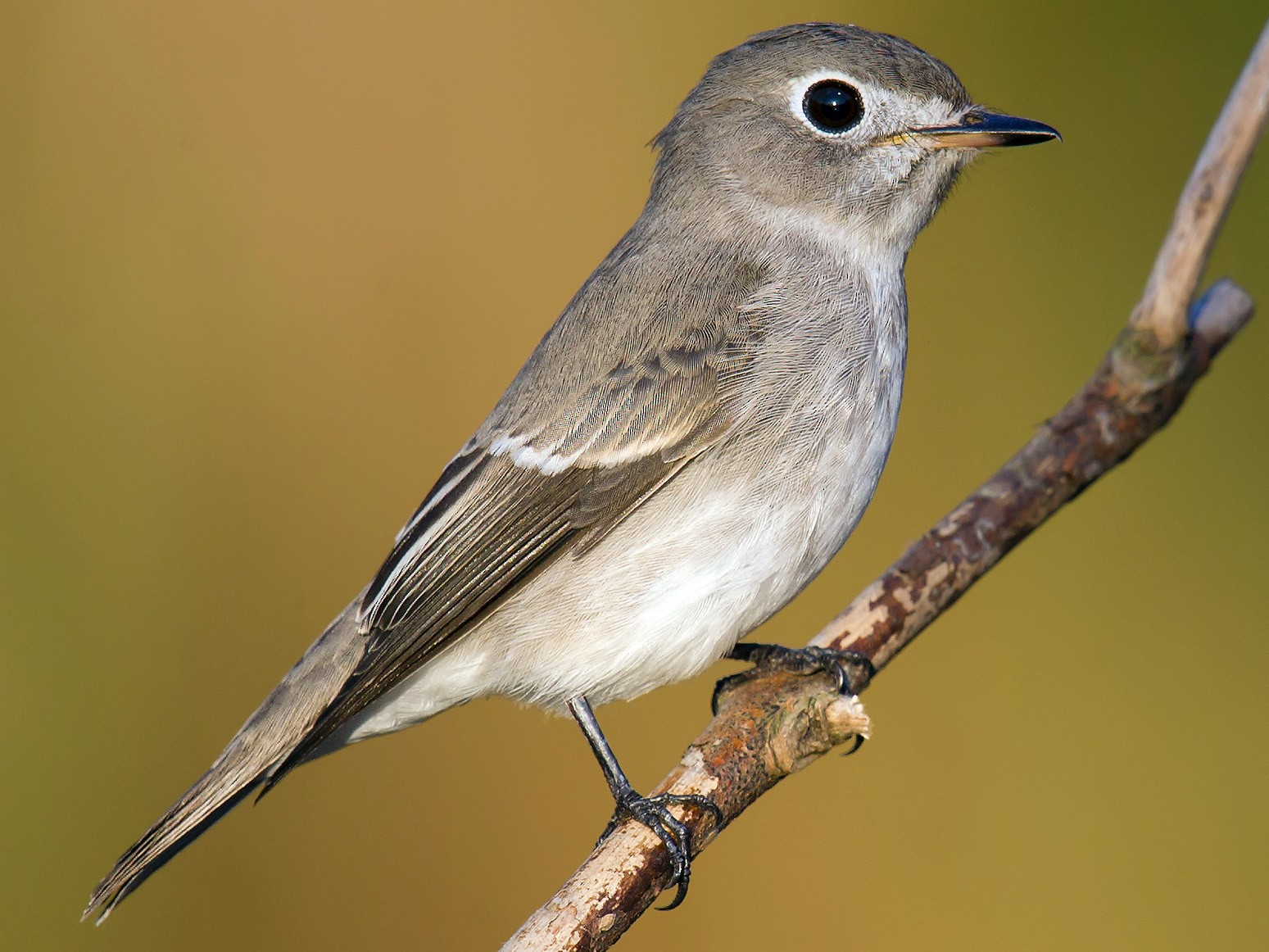 Asian Brown Flycatcher - Craig Brelsford