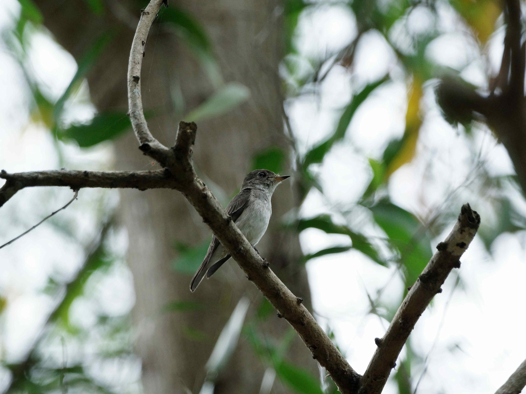 Asian Brown Flycatcher - Kian Guan Tay