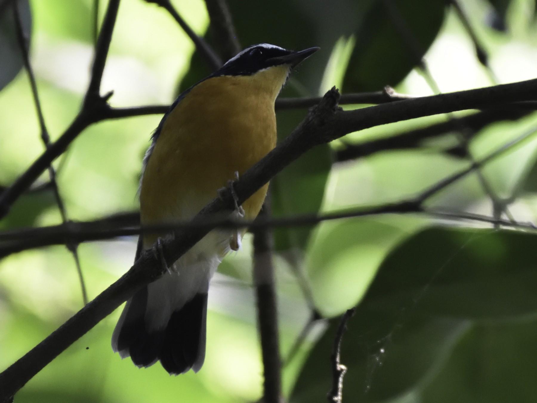 Indian Blue Robin - Sandip Telang