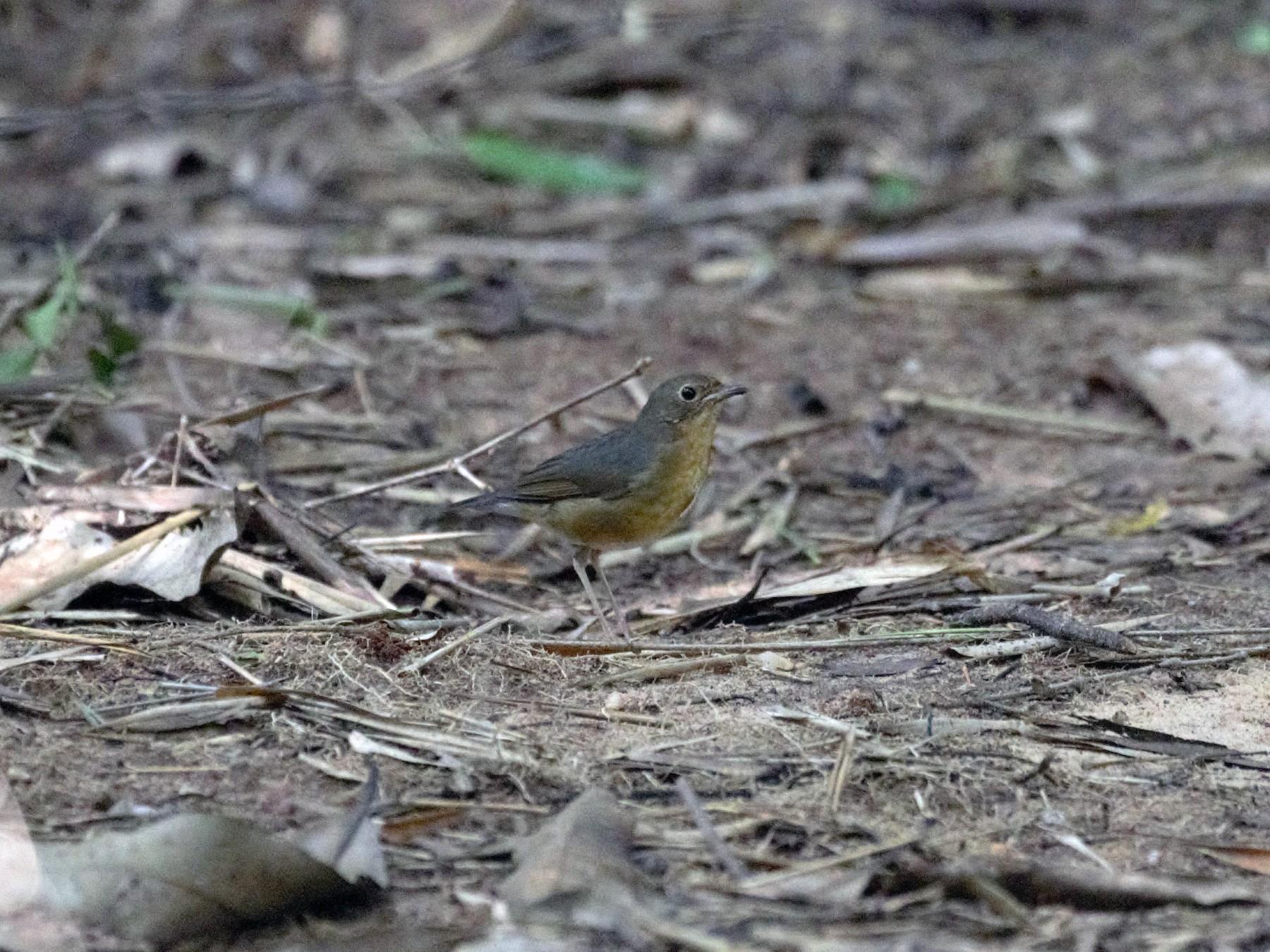 Indian Blue Robin - Surendhar Boobalan