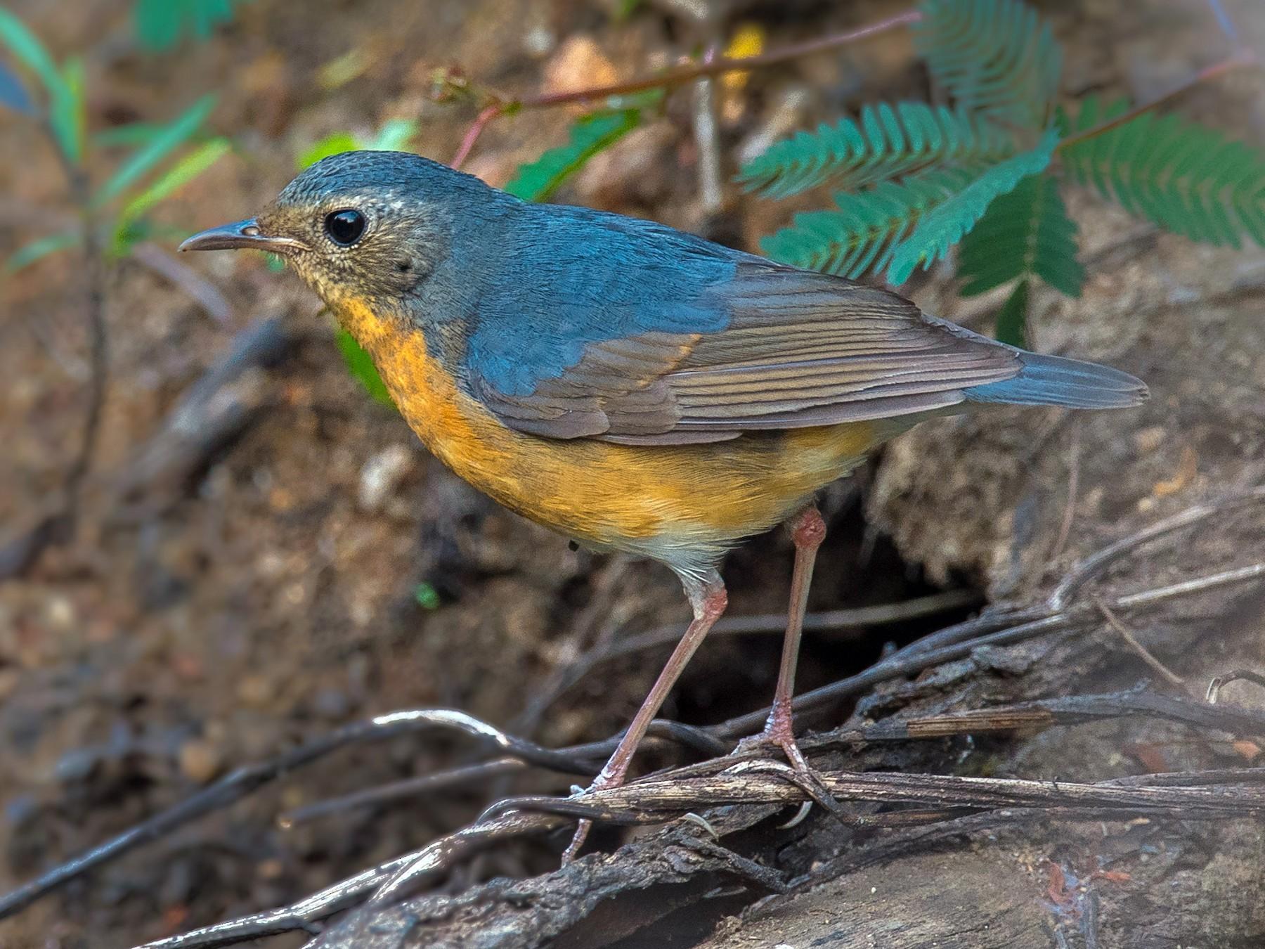 Indian Blue Robin - Sivaguru Noopuran PRS