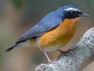 - Indian Blue Robin