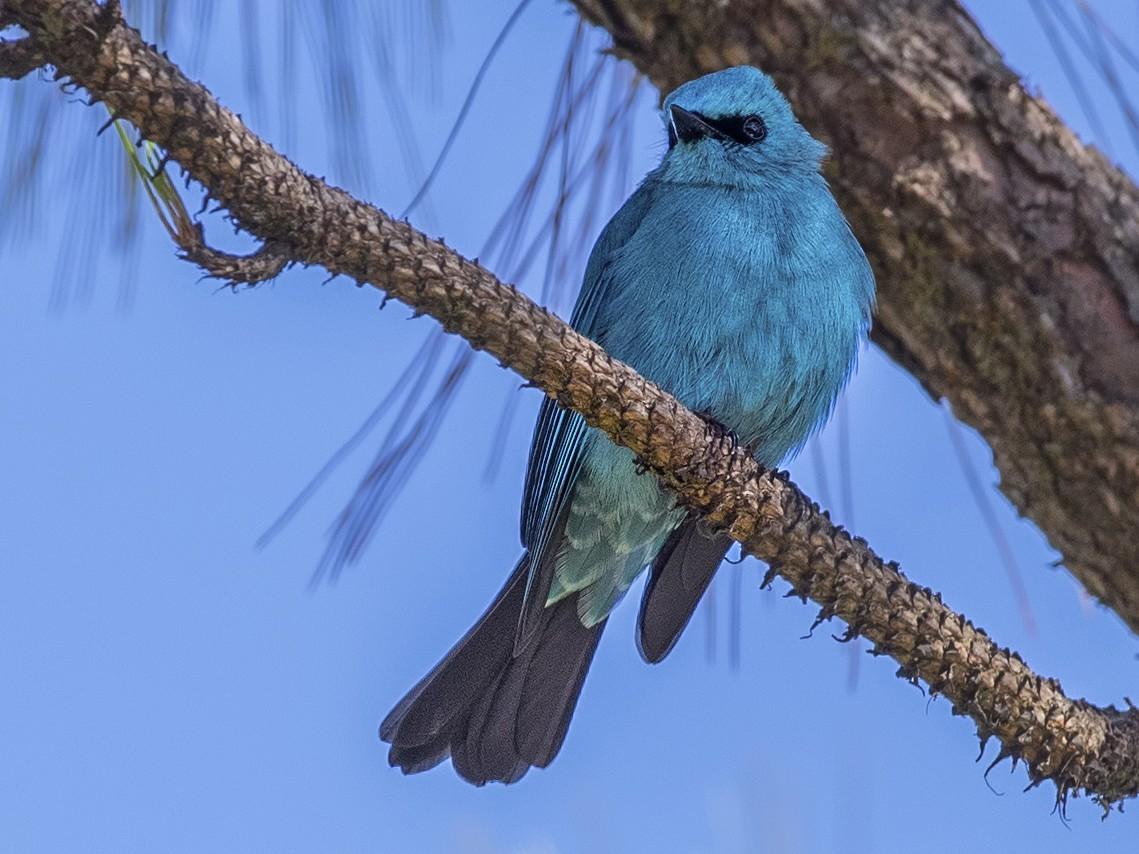 Verditer Flycatcher - H. Çağlar Güngör