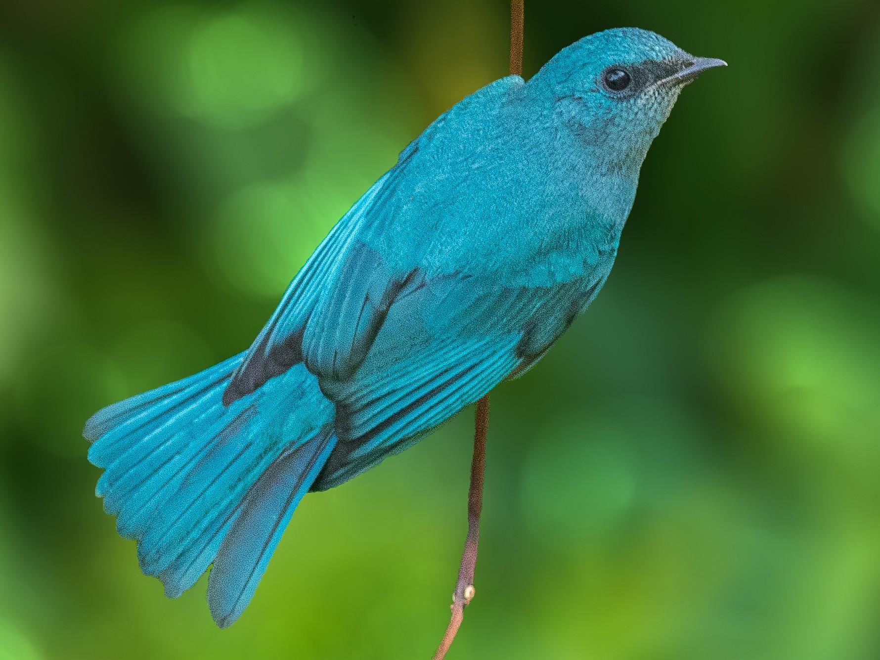 Verditer Flycatcher - abhishek ravindra