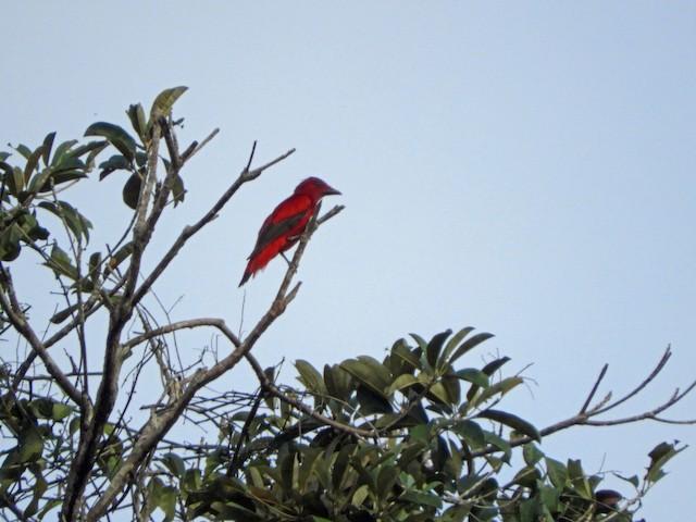 Crimson Fruitcrow