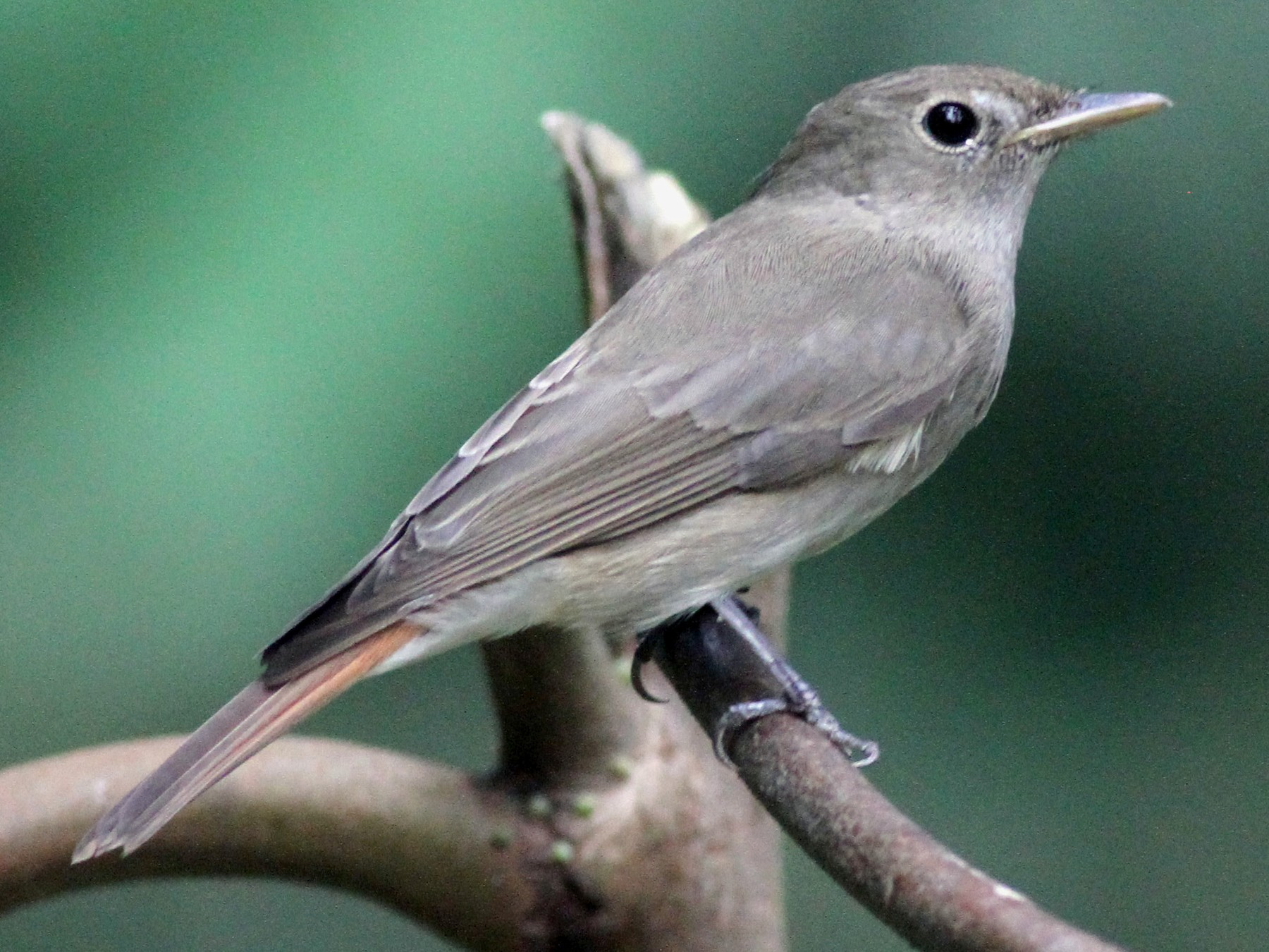 Rusty-tailed Flycatcher - Michael McCloy