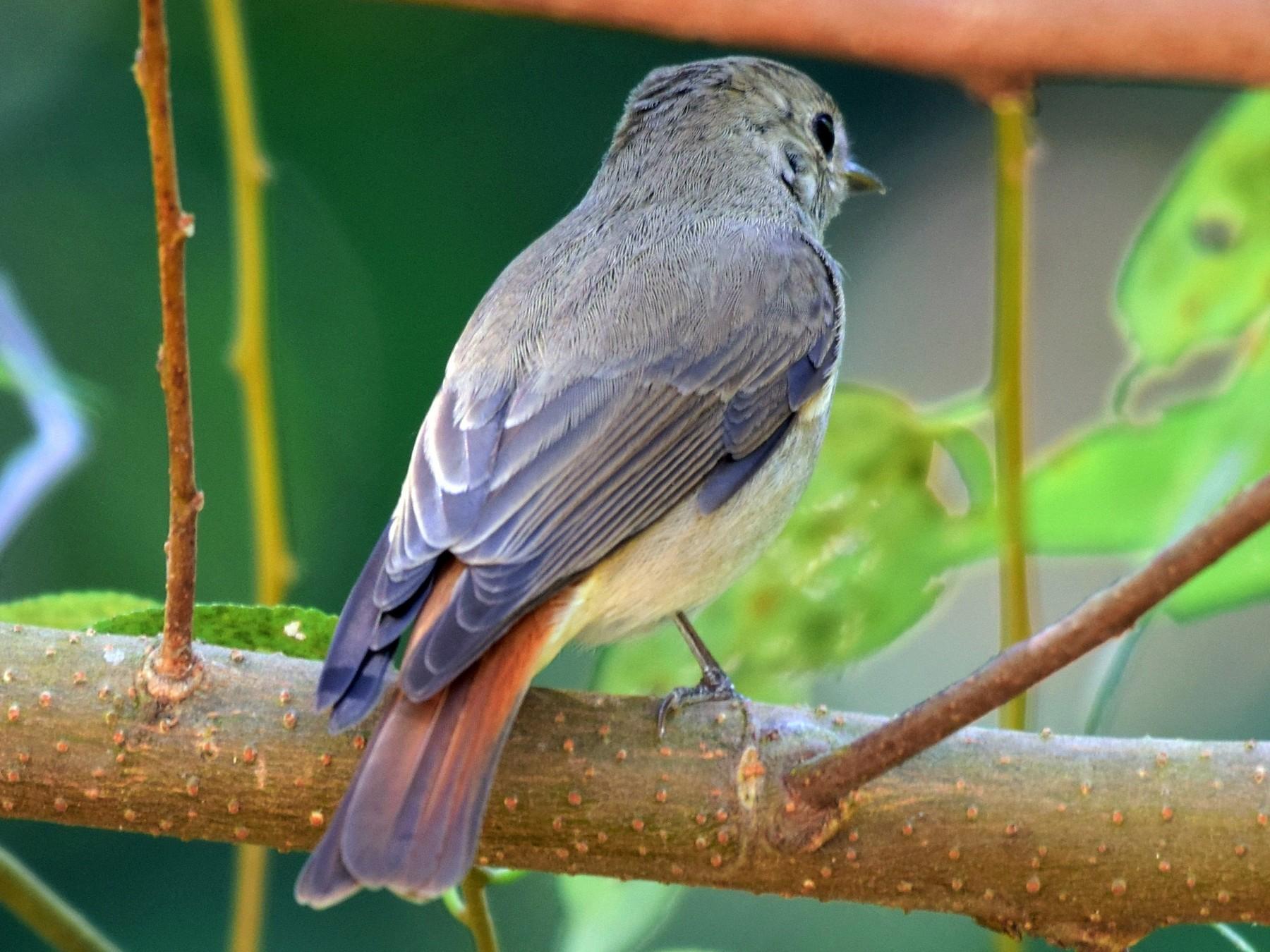 Rusty-tailed Flycatcher - mathew thekkethala