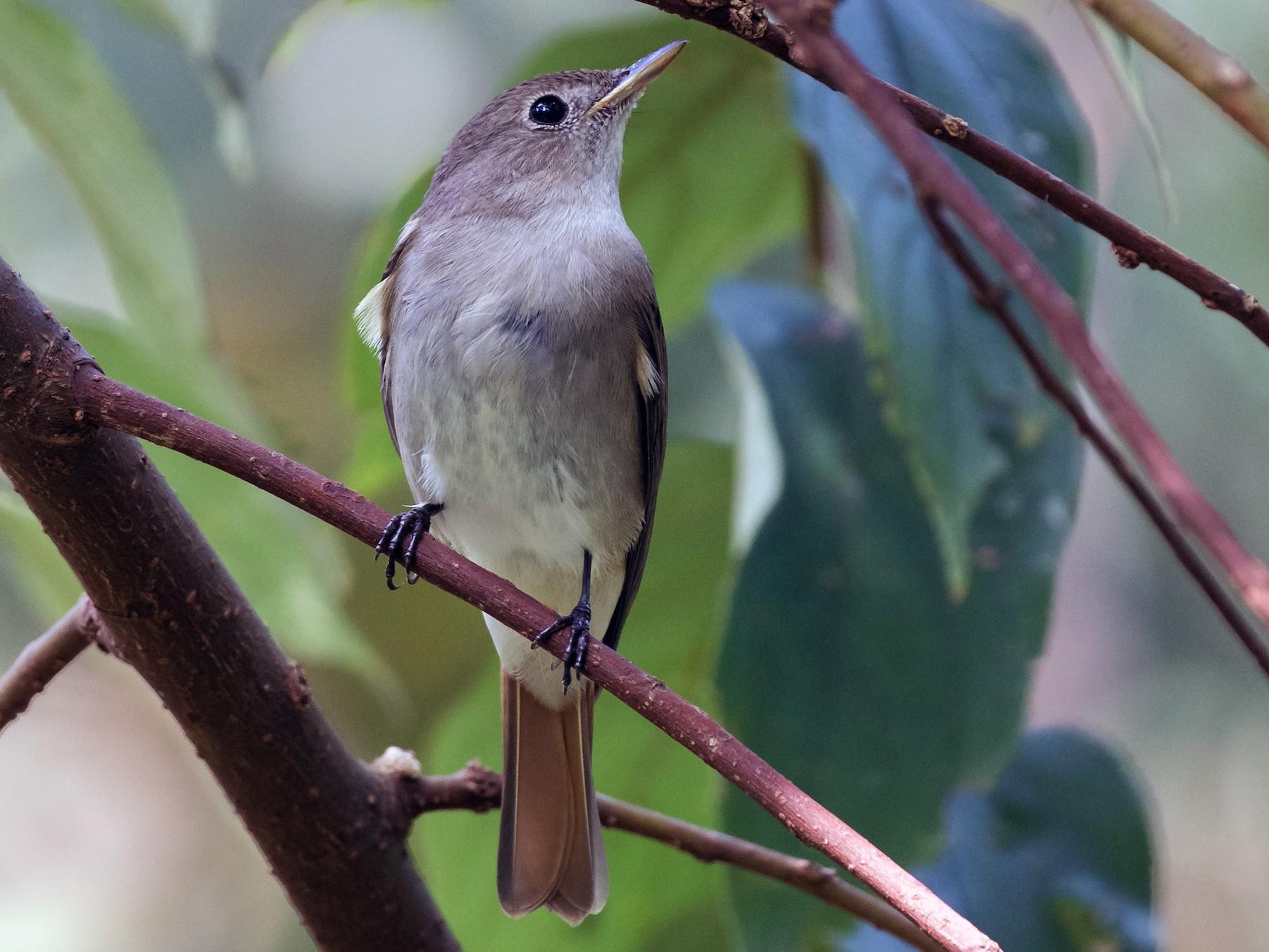 Rusty-tailed Flycatcher - Sidharth Srinivasan