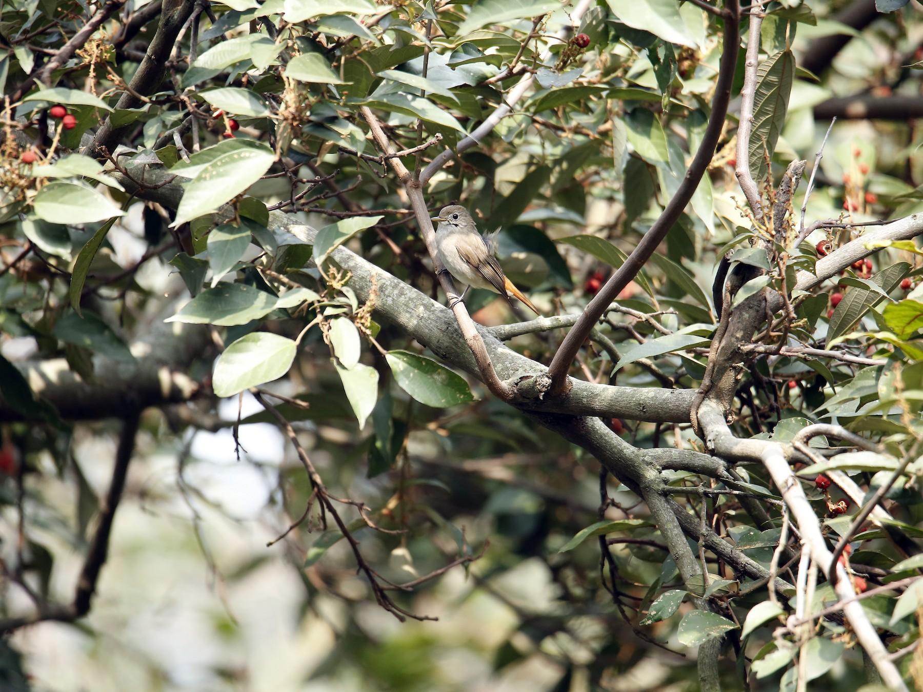 Rusty-tailed Flycatcher - Karthick VS