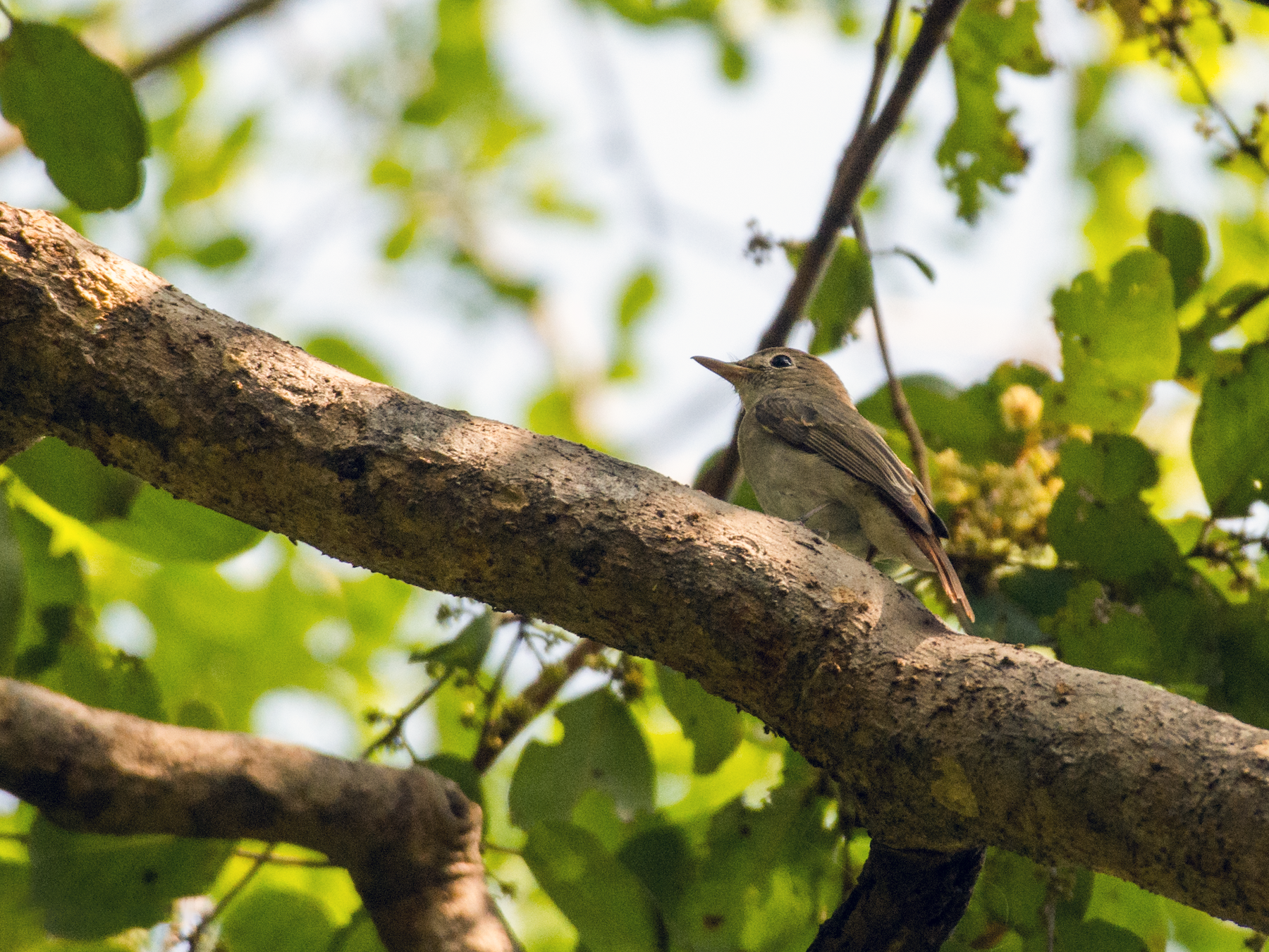 Rusty-tailed Flycatcher - Fareed Mohmed