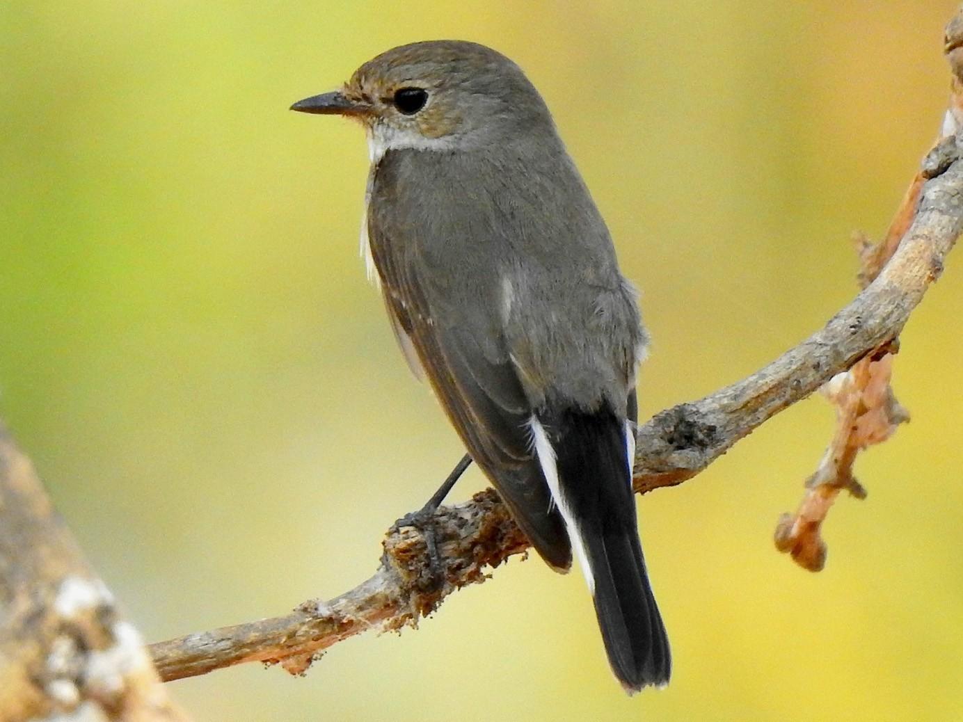 Taiga Flycatcher - John Sandve