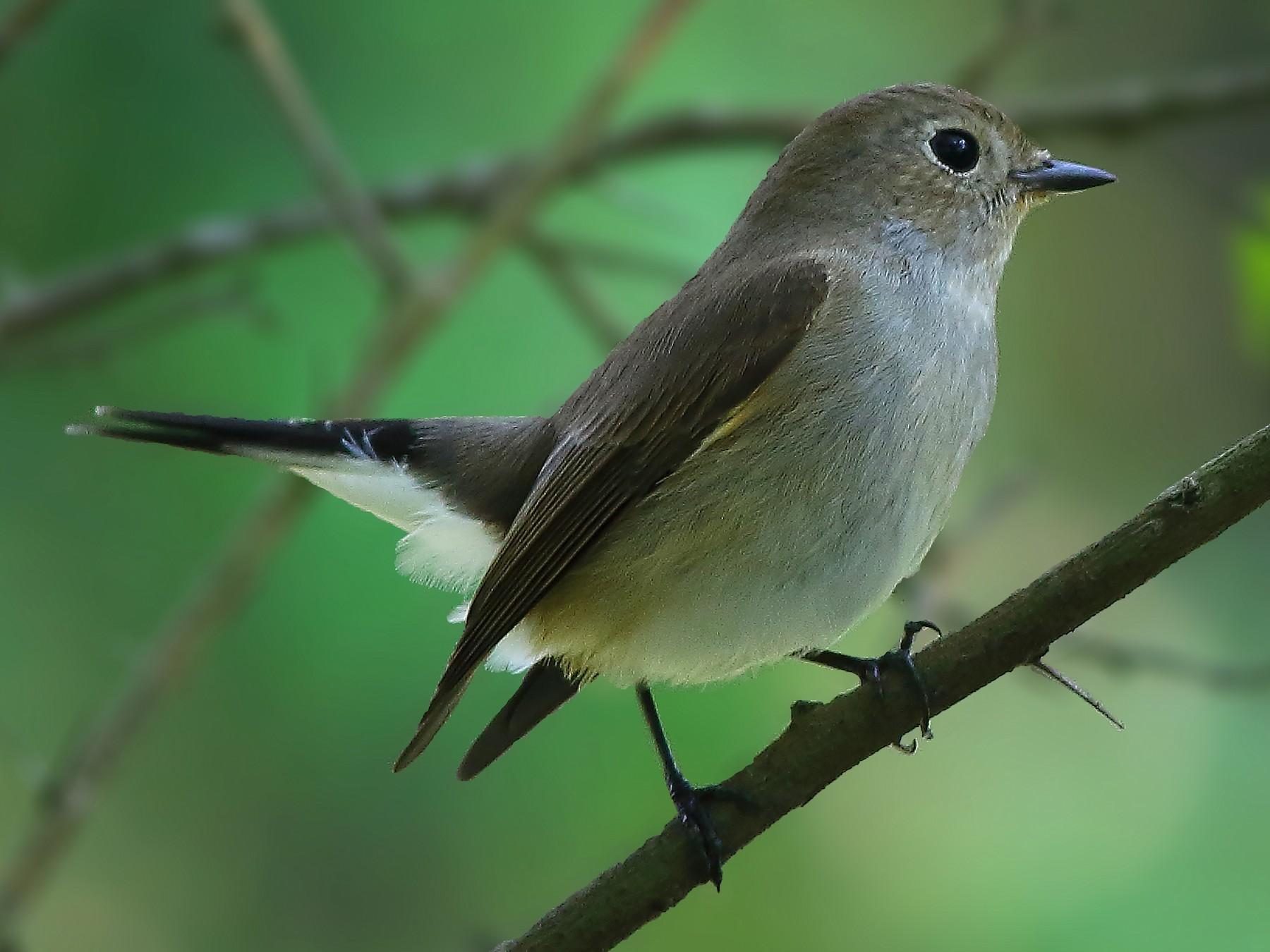 Taiga Flycatcher - Amitava Ganguly