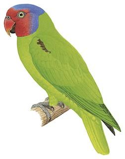 Geoffroyus geoffroyi keyensis
