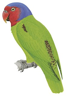 Geoffroyus geoffroyi mysorensis