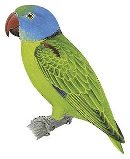 Psittinus cyanurus abbotti